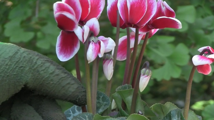 care of Cyclamen